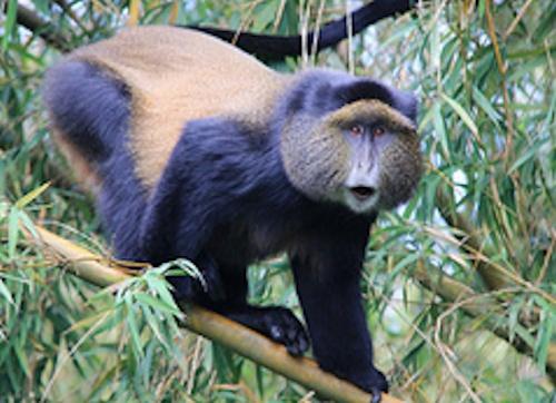 rwanda-golden-monkey